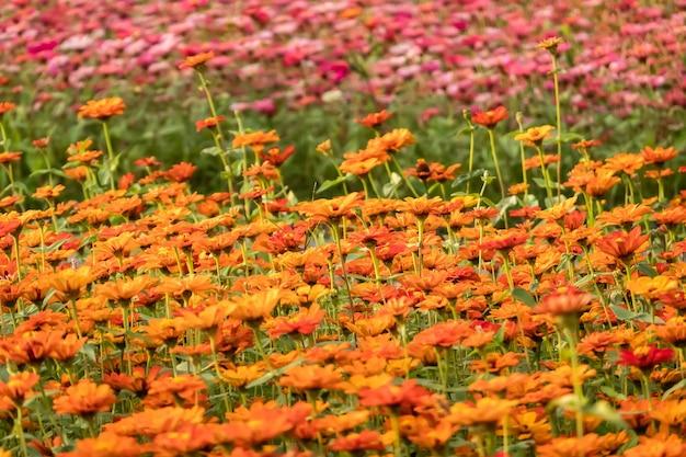 Fazenda de flores coloridas do cosmos ao ar livre