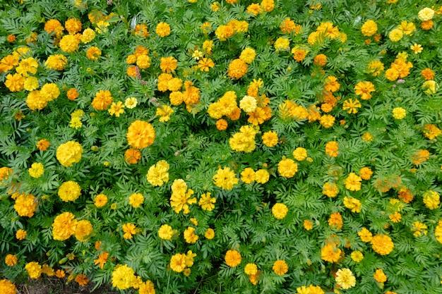 Fazenda de flores do cosmos amarelo ao ar livre