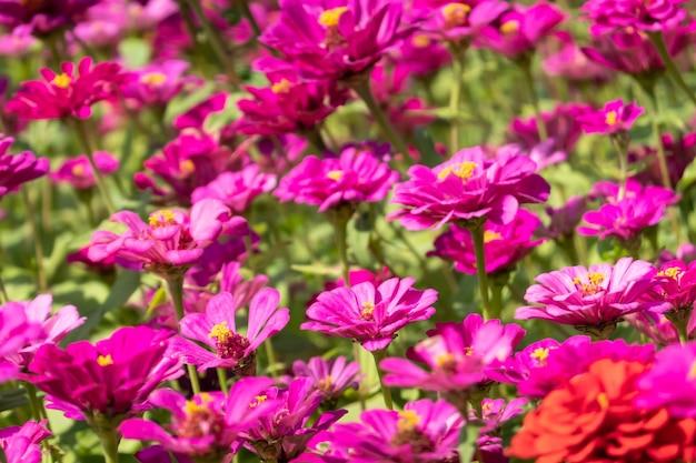 Fazenda de flores rosa e roxa do cosmos ao ar livre