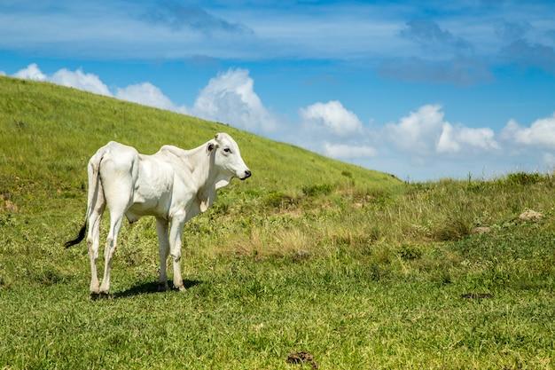 Fazenda de gado montain pecuária brasil