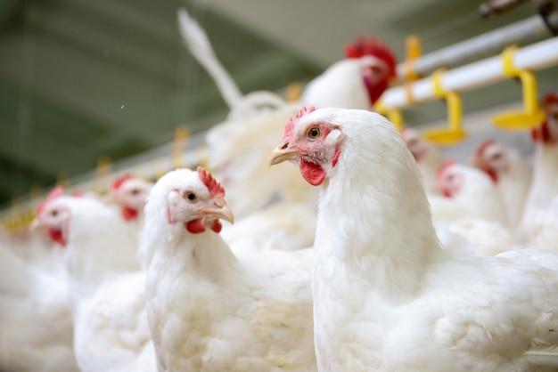 Fazenda de galinhas brancas