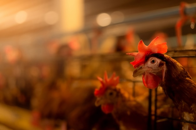 Fazenda de galinhas. galinha poedeira em gaiolas. avicultura comercial de galinhas. camada de criação de gado de galinhas. avicultura intensiva em sistemas próximos. agricultura de produção de ovos.