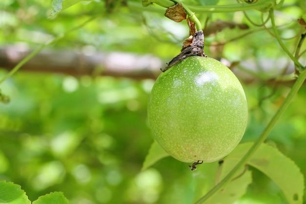 Fazenda de maracujá, muito maracujá cru e fresco na árvore