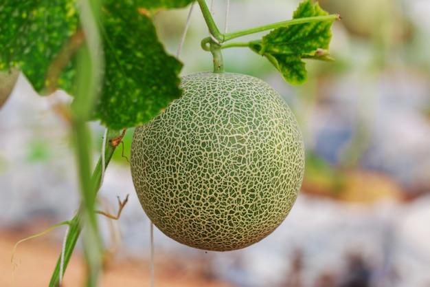 Fazenda de melão cantalupo japonês