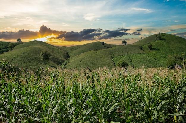 Fazenda de milho na colina com céu azul e pôr do sol