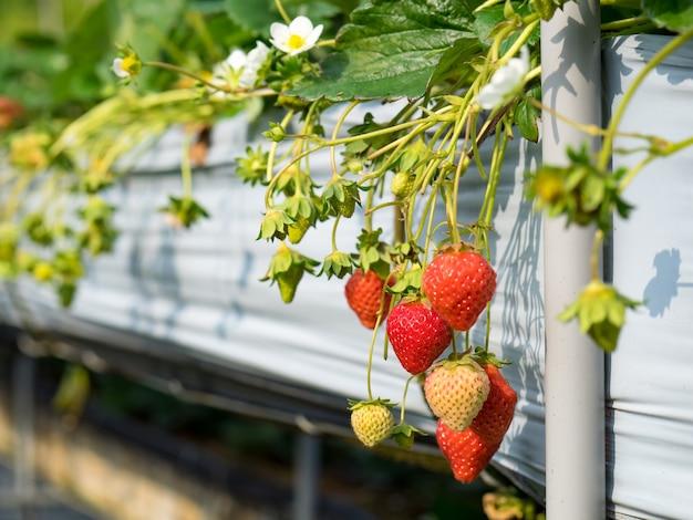 Fazenda de morango pendurada cheia de morangos maduros