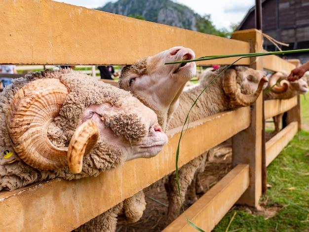 Fazenda de ovelhas agricultura mamamal fofa
