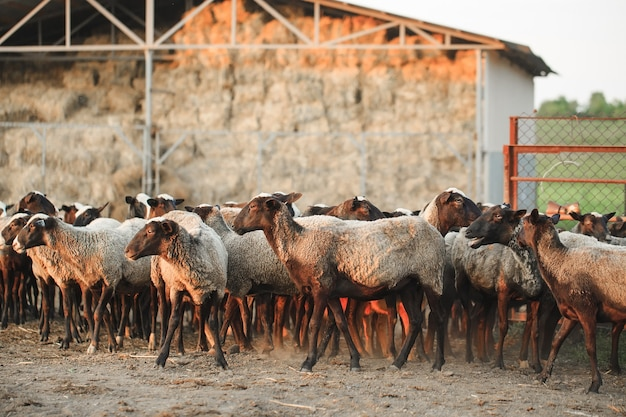 Fazenda de ovelhas. grupo de animais domésticos de ovelhas.
