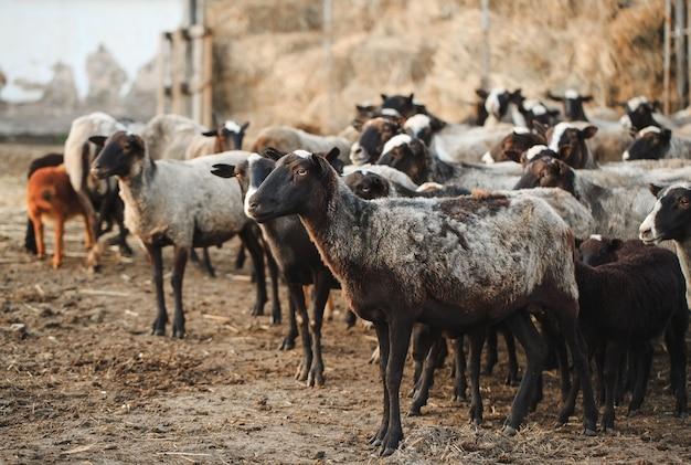 Fazenda de ovelhas. grupo de animais domésticos de ovelhas. Foto Premium