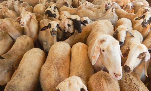 Fazenda de ovelhas para a produção de leite