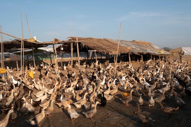 Fazenda de patos em mandalay