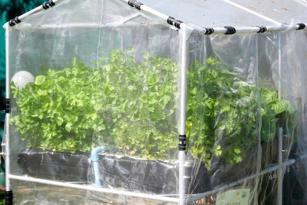 Fazenda de vegetal hidropônica orgânica crescendo em estufa