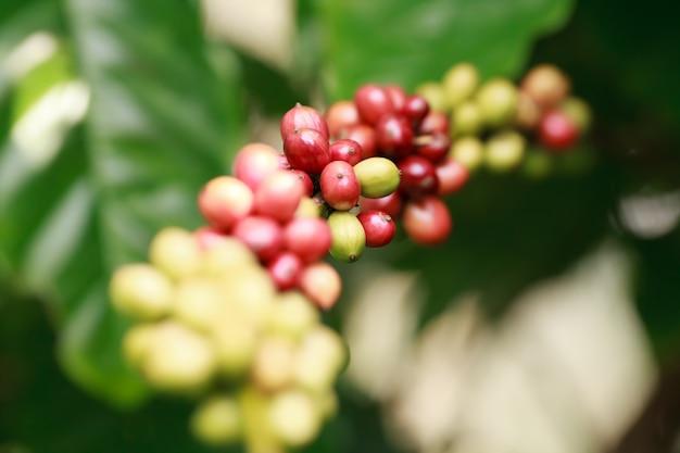Fazenda e plantação de café robusta na montanha sul da tailândia.