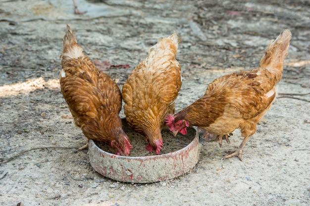 Fazenda galinhas comendo arroz e farelo para bandeja de comida