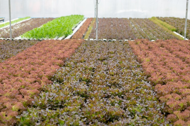 Fazenda hidropônica de carvalho cultivado em estufa para exportação para o mercado. interior da fazenda hidropônica. fazenda de vegetais em hidroponia.