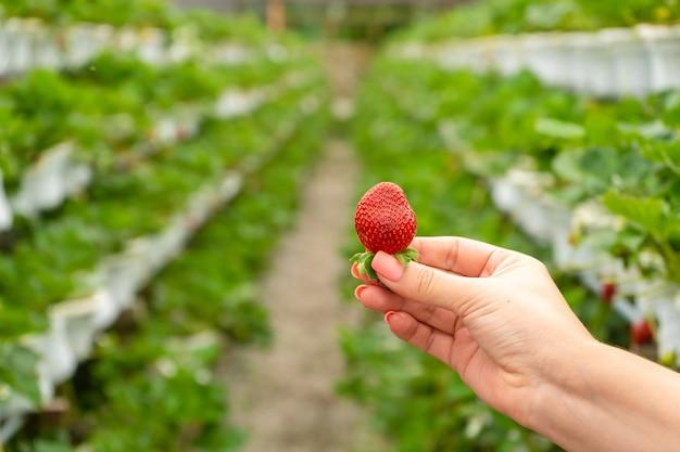 Fazenda industrial para cultivo de morangos. frutas vermelhas maduras na mão no contexto dos canteiros da estufa.
