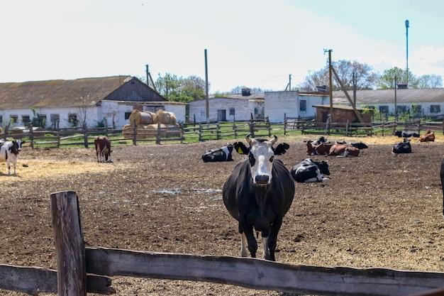 Fazenda leiteira de vacas ao ar livre. as vacas pastam e descansam no paddock.