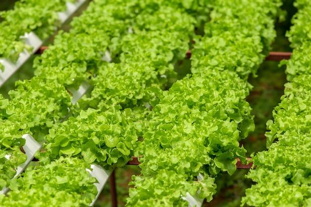 Fazenda orgânica com agricultura vegetal hidropônico.