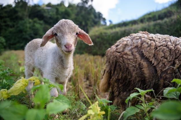 Fazenda ovelha, em, a, vale sagrado, mae hong filho, tailandia