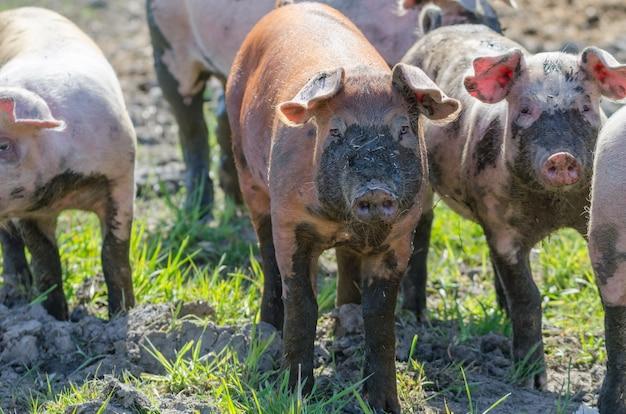 Fazenda rural com porcos sujos engraçados andando