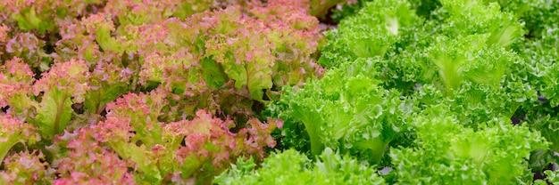Fazenda vegetal hidropônica de alface vermelha e verde fresca.