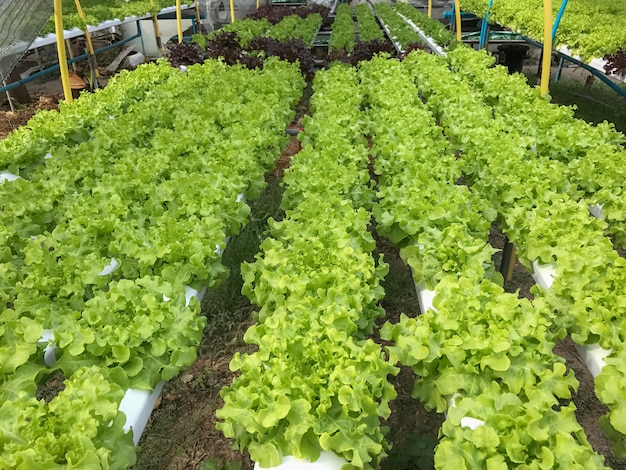 Fazendas de hortaliças orgânicas de hidroponia na tailândia
