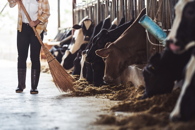Fazendeira está alimentando as vacas. vaca comendo grama