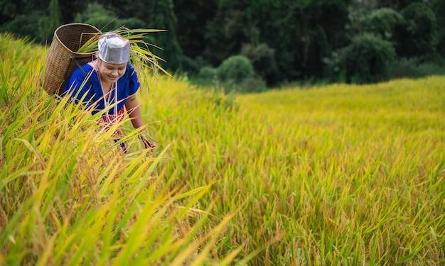 Fazendeira, mulher, colheita de arroz no norte da tailândia