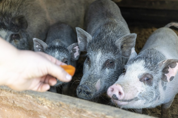 Fazendeiro alimenta um porco com cenouras no celeiro da fazenda. porcos sujos no curral. área rural. criação animal. carne de porco. iguarias de carne. produtos agrícolas alimento natural saudável medicina veterinária. rancho. animal.