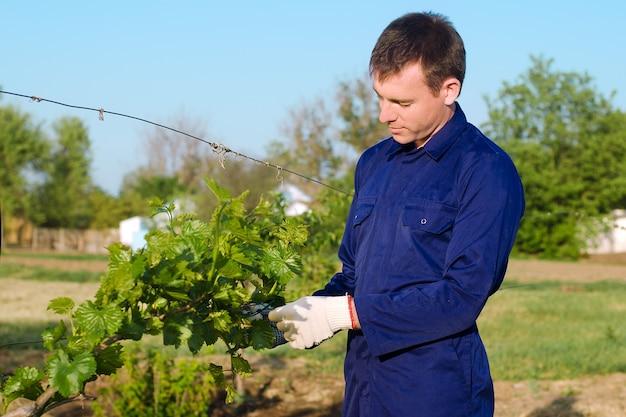 Fazendeiro amarrando uva