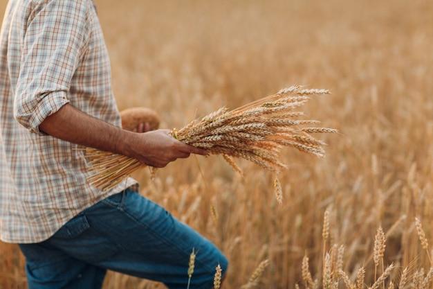 Fazendeiro anda e segura um molho de espigas de trigo e pão em um campo de cereais