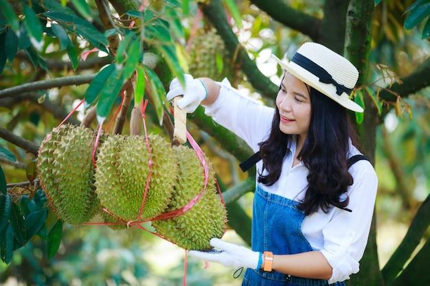 Fazendeiro asiático derruba sua fruta durian antes de colher