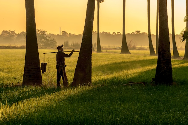 Fazendeiro asiático do indonisia dos homens que trabalha no firld do arroz. mantenha o açúcar de palma bronzeado