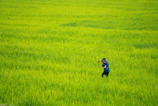 Fazendeiro asiático trabalhando no campo de arroz
