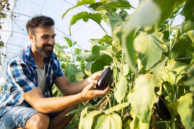 Fazendeiro colhendo berinjelas maduras e frescas e colocando em uma caixa de madeira