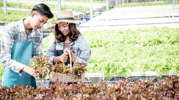 Fazendeiro colhendo salada de vegetais orgânicos, alface de fazenda hidropônica para clientes.
