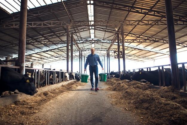 Fazendeiro com baldes na fazenda de gado leiteiro, alimentando vacas e cuidando do gado.