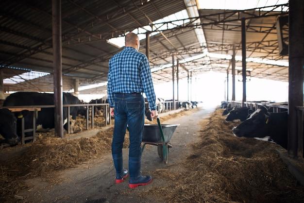 Fazendeiro com carrinho de mão cheio de feno alimentando vacas em fazenda de gado doméstico