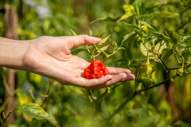 Fazendeiro cultive da mão dos pimentões