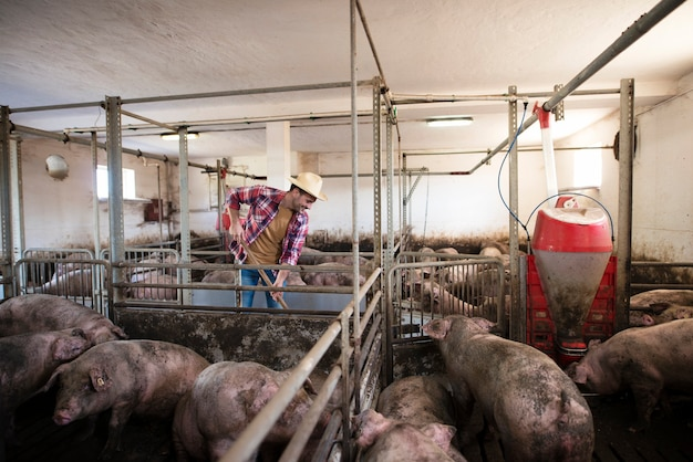 Fazendeiro de meia idade limpando uma fazenda de porcos