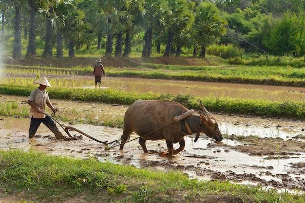 Fazendeiro e búfalo durante o pôr do sol, tailândia