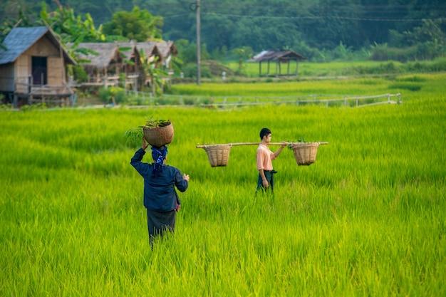 Fazendeiro fêmea tailandês que colhe o arroz no campo tailândia, fazendeiro que anda através de um campo verde no dia do por do sol, estilo de vida do conceito asiático das mulheres adultas.