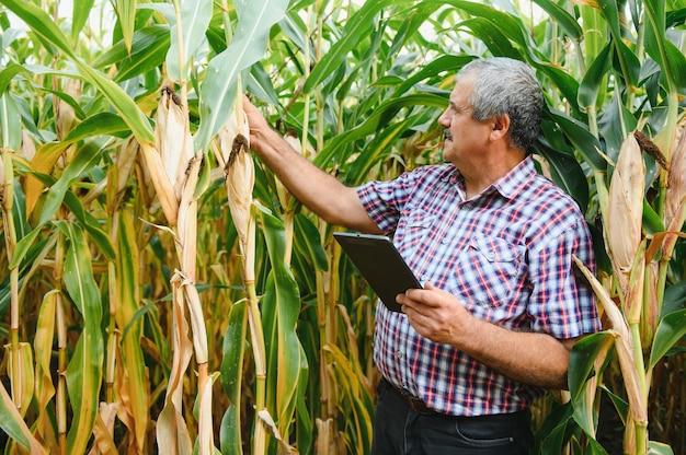 Fazendeiro inspecionando sabugo de milho em seu campo
