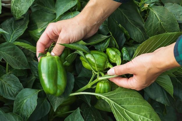 Fazendeiro no jardim verifica se há pragas nas pimentas