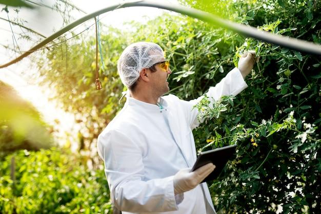 Fazendeiro novo moderno que olha o tomate e que verifica o status ao guardar uma tabuleta na estufa.