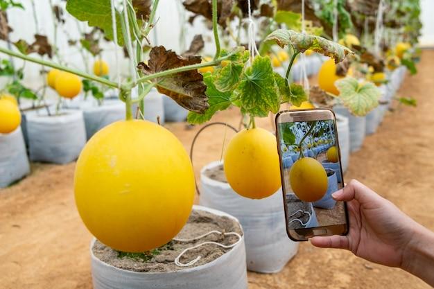 Fazendeiro observando uma fotografia de melão arquivada em celular