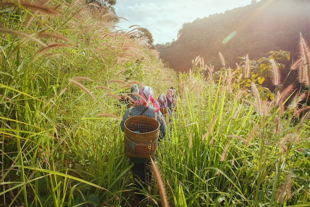 Fazendeiro que anda com a ferramenta de madeira da cesta que anda à plantação de chá em chiang rai, tailândia.