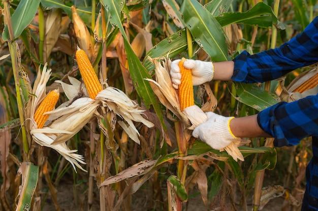 Fazendeiro que inspeciona a espiga de milho em seu campo, milho para a alimentação animal.