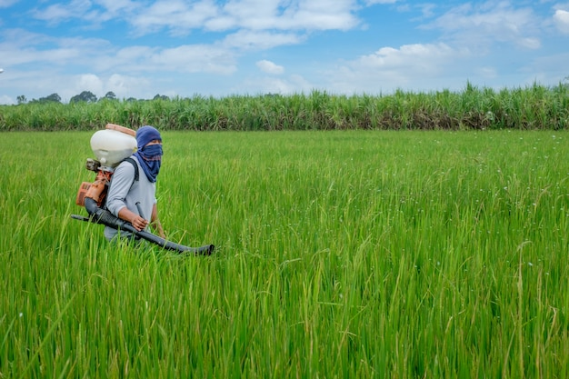 Fazendeiro tailandês asiático aos herbicidas ou aos fertilizantes químicos equipamento no crescimento verde do arroz dos campos.