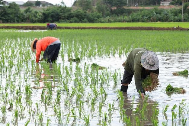 Fazendeiro tailandês no campo de arroz